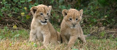 0-Kindergarten-Lion - Pack157